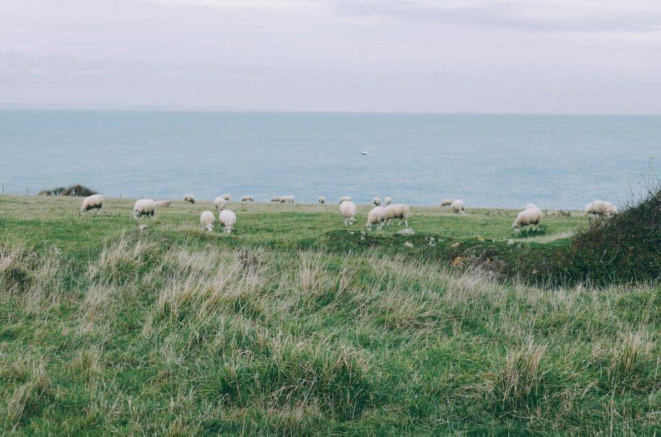 mouton Cap Gris Nez Cap Blanc Nez