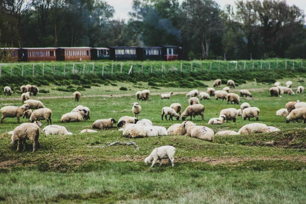 mouton baie de somme