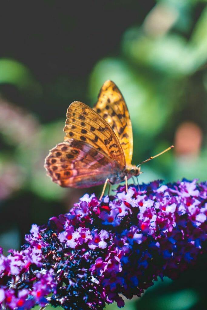 papillon macro