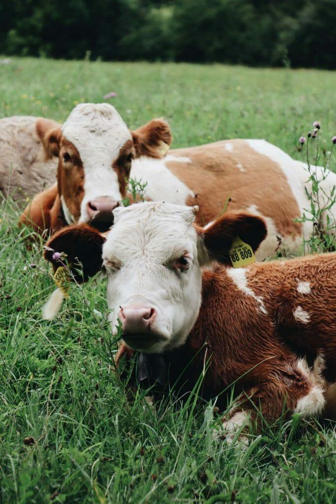 vaches en bavière