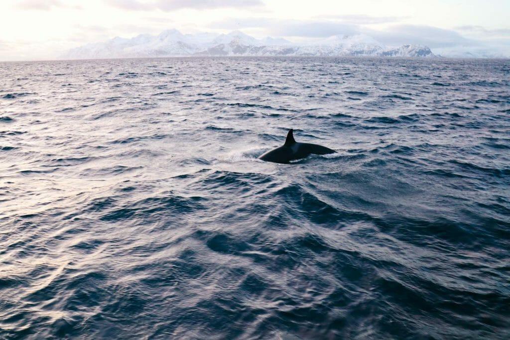 orques norvège tromso