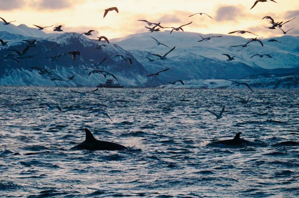 Norvège : voir des baleines et des orques en bateau électrique