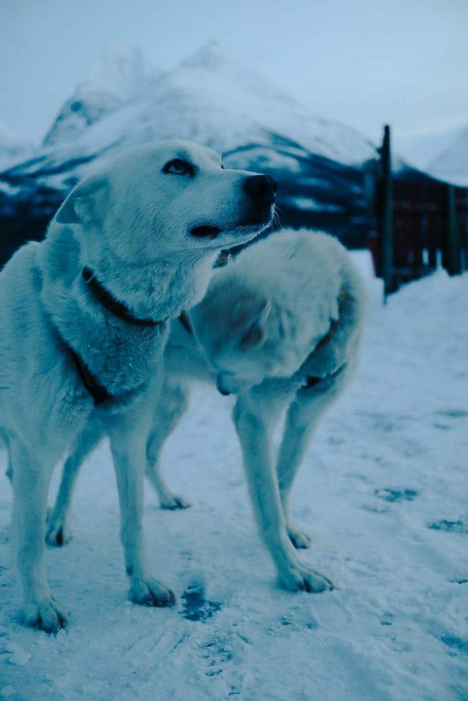 tromso chien de traineau norvège