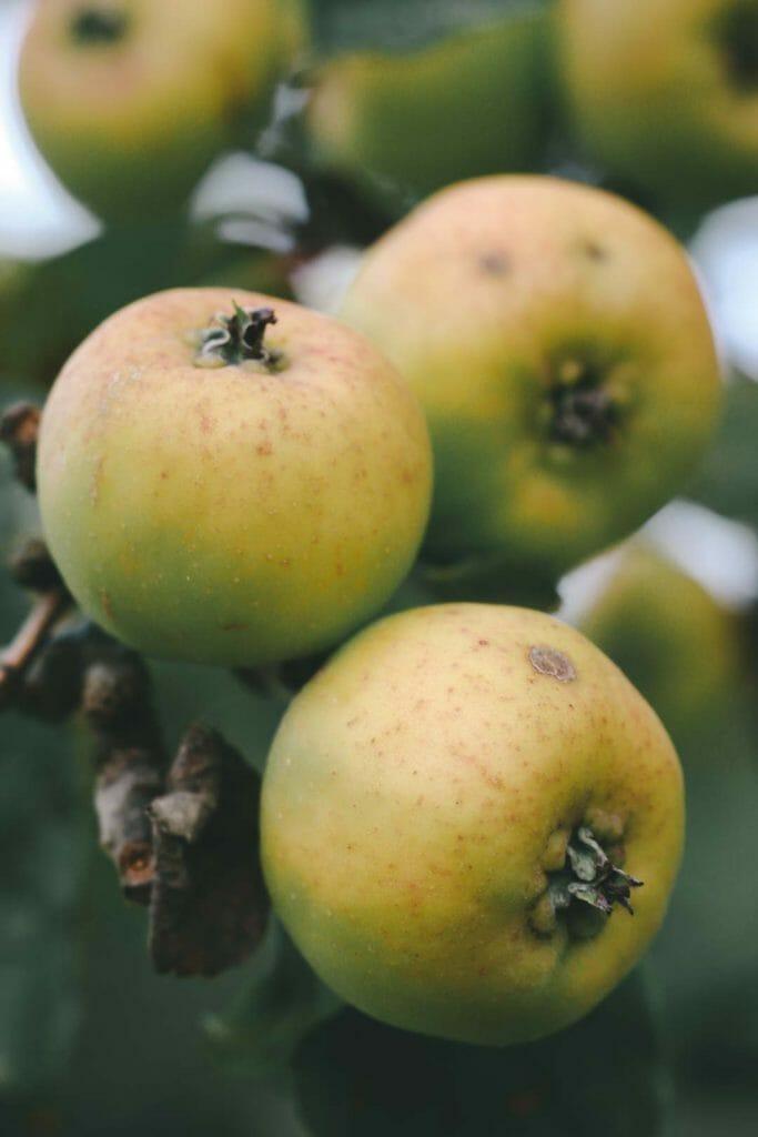 pomme macro