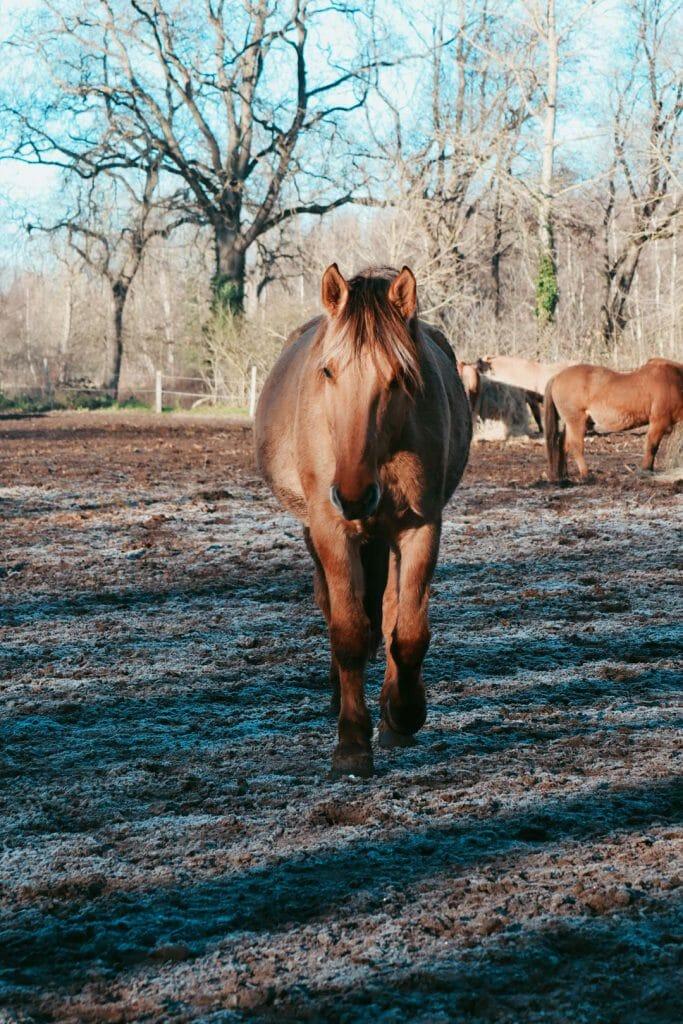 cheval henson baie de somme