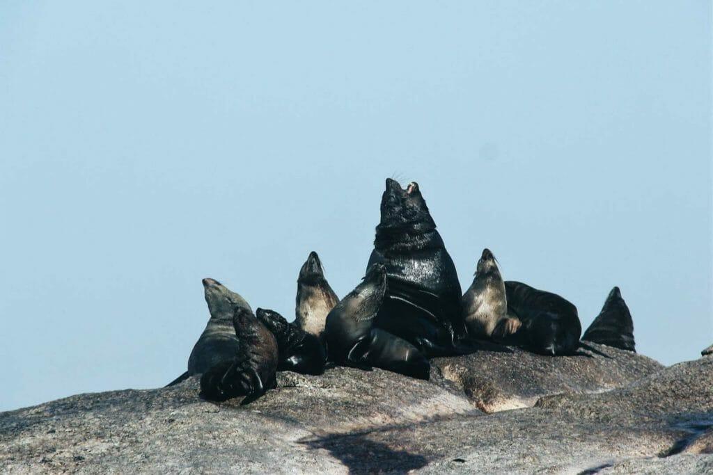phoques de Duiker Island